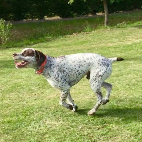 Indy Du Pech Du Cayrol, chien Braque du Bourbonnais