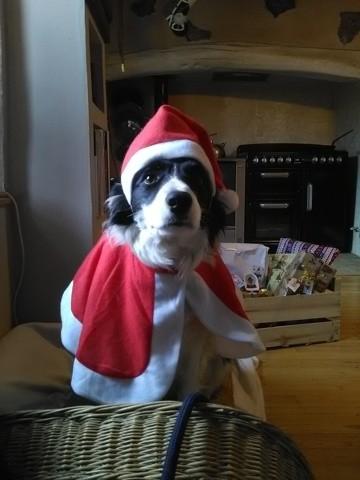 Inoa, chien Border Collie