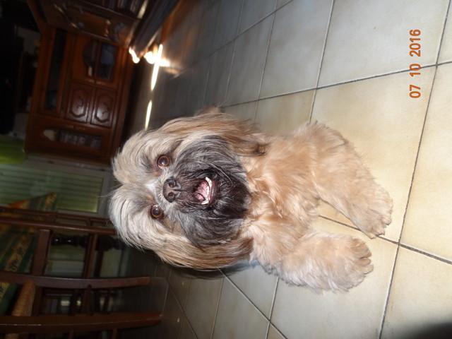 Inouk, chien Lhassa Apso