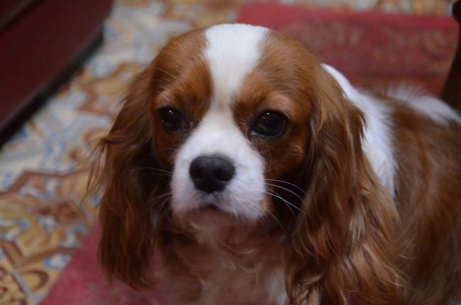 Inouy, chien Cavalier King Charles Spaniel