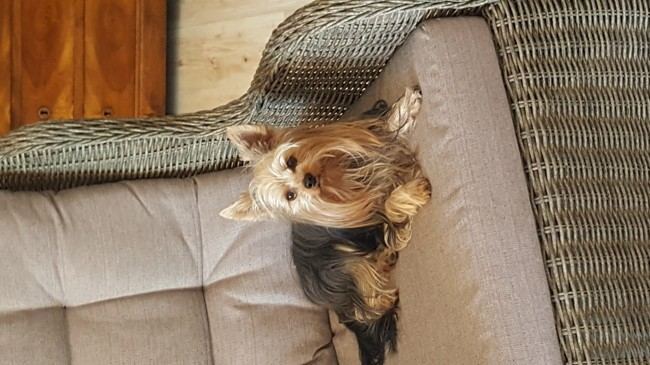 Iony, chien Yorkshire Terrier
