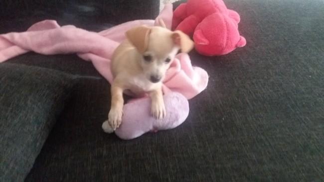 Iris, chiot Chihuahua