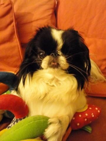 Iris, chien Épagneul japonais