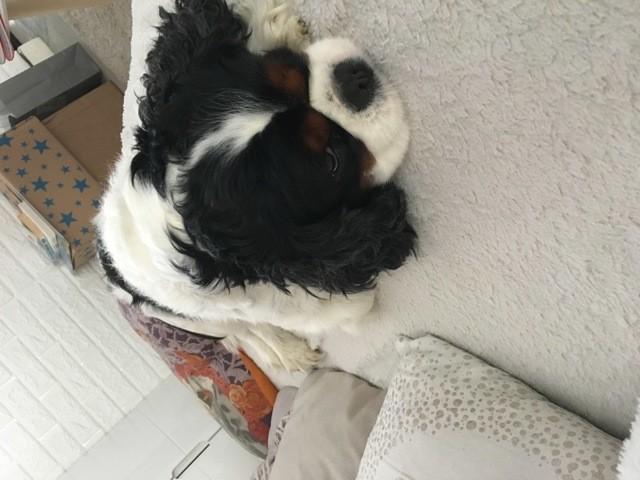 Irun, chien Cavalier King Charles Spaniel