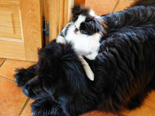 Iseult, chien Terre-Neuve