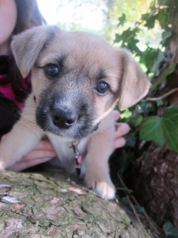 Ivy, chiot Jack Russell Terrier