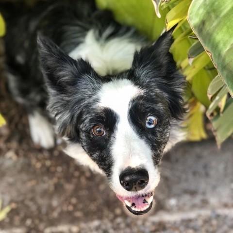 Ivy, Border Collie