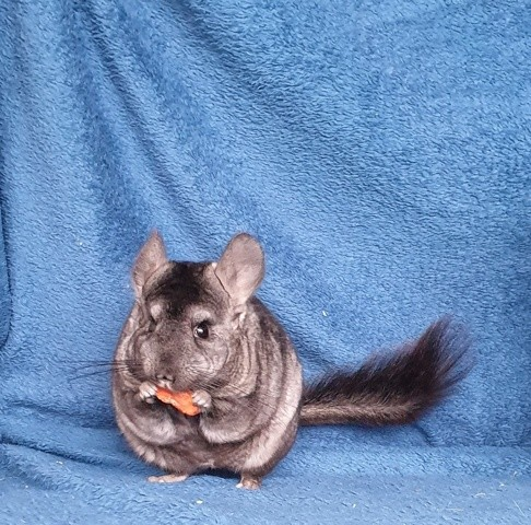 Ivy, rongeur Chinchilla