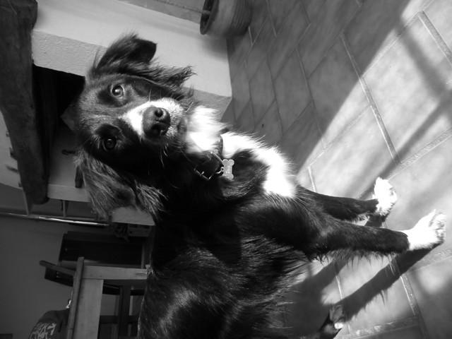 Izia, chien Border Collie