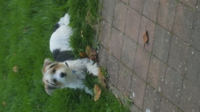 Jack, chiot Jack Russell Terrier