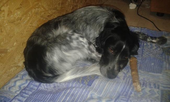 Jack, chien Setter anglais