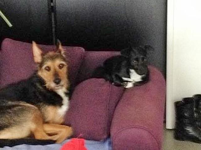 Margotte, chien Jack Russell Terrier