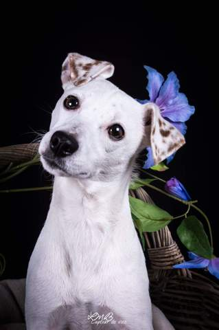 Ilka, chien Jack Russell Terrier