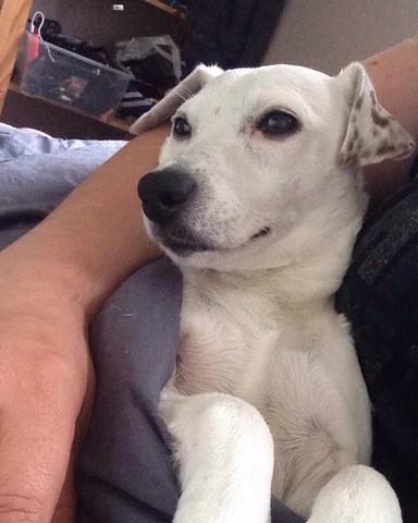 Ilka, chien Jack Russell Terrier