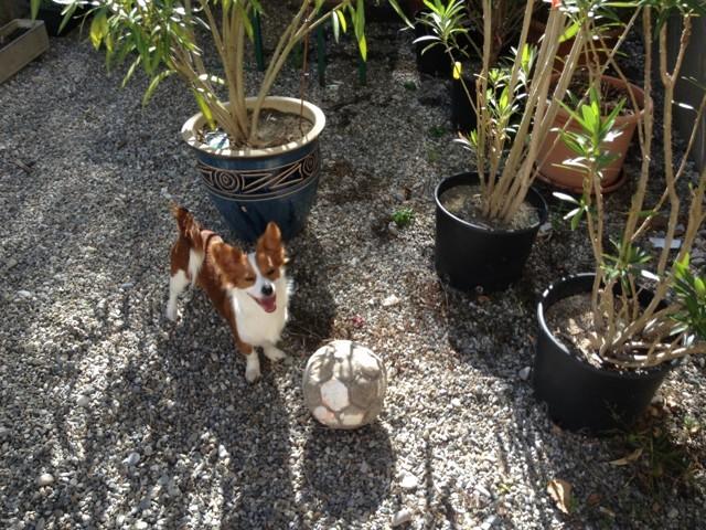 Cookie, chien Jack Russell Terrier