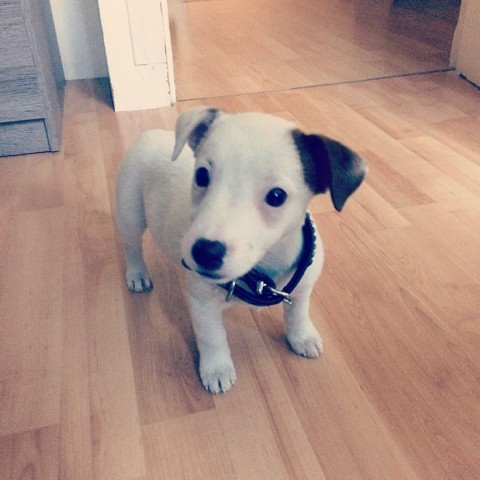 Nora, chiot Jack Russell Terrier