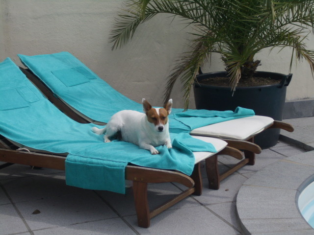 Speed, chien Jack Russell Terrier