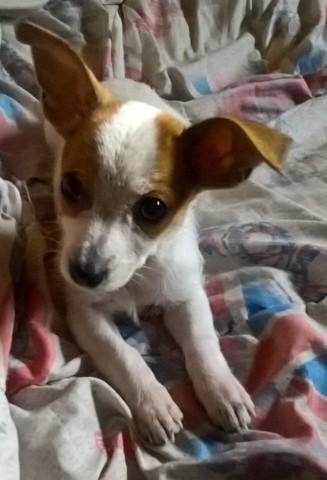 Chyper, chiot Jack Russell Terrier