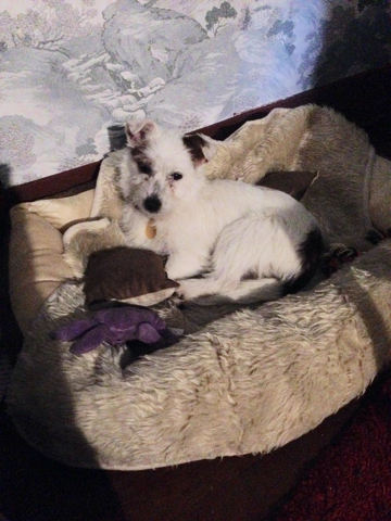 Pancho, chien Jack Russell Terrier