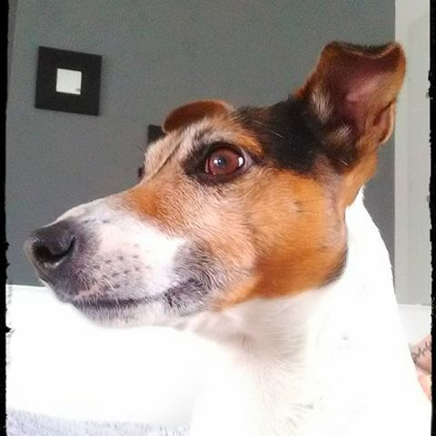 Guesh, chien Jack Russell Terrier