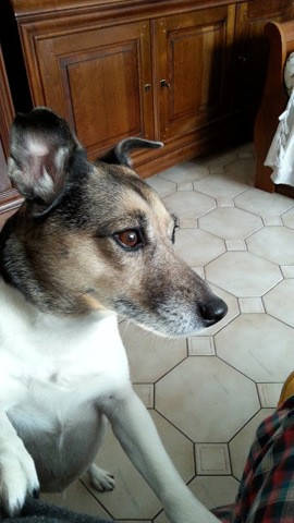 Délice, chien Jack Russell Terrier