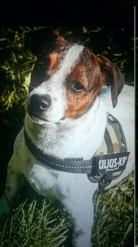 Chester, chiot Jack Russell Terrier