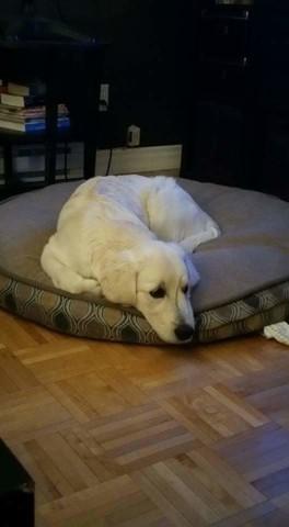 Jacob, chien Golden Retriever