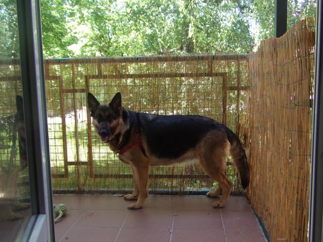 Jade, chien Berger allemand