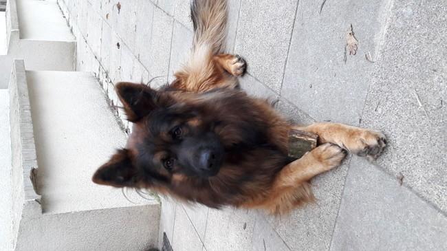 Jaggo, chien Berger allemand