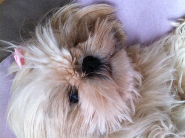 Jahnine, chien Shih Tzu