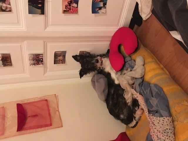 Jalina, chien Barzoï