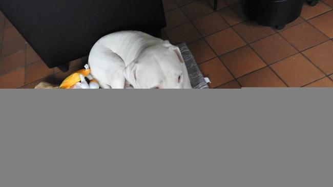 Jamaique, chien Dogue argentin
