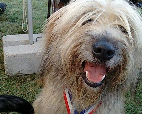 Jamy, chien Berger des Pyrénées