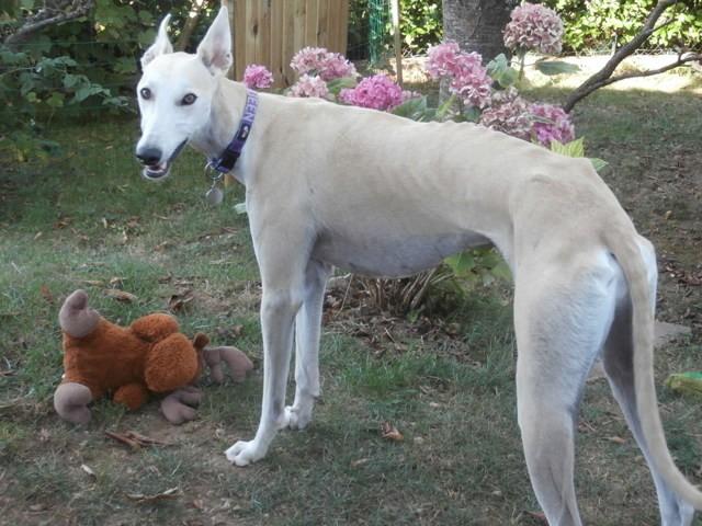Jango, chien Lévrier espagnol