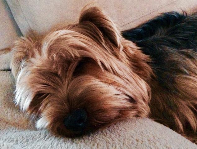 Jasko, chien Yorkshire Terrier