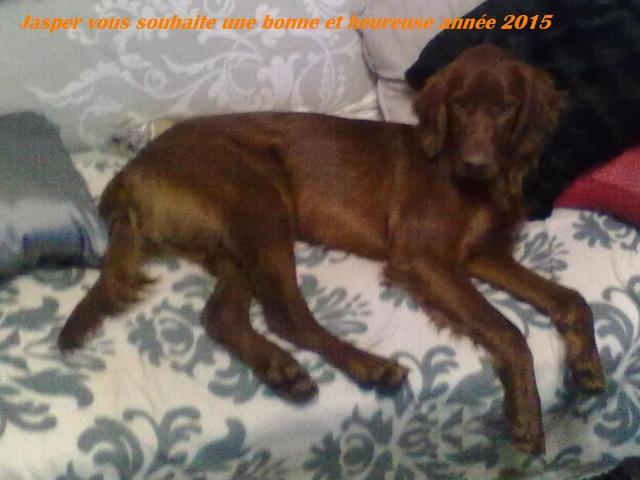 Jasper, chien Setter irlandais