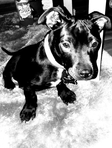 Jaxx, chiot American Staffordshire Terrier