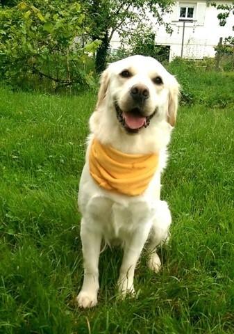 Jaya, chien Golden Retriever