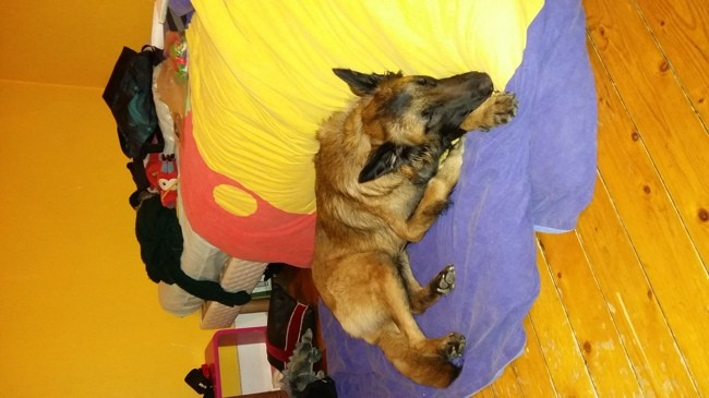 Jazz, chien