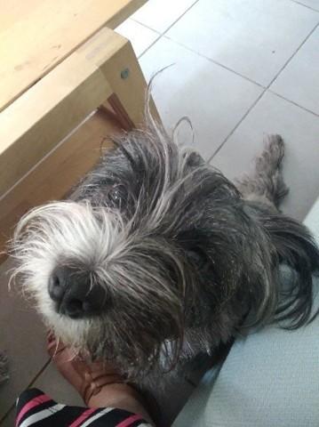 Jazzy, chien Cairn Terrier