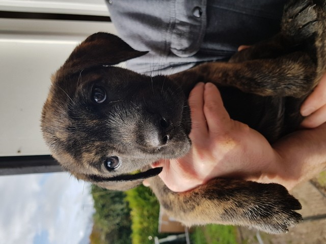 Je S'Appelle Groot, chiot Cane Corso