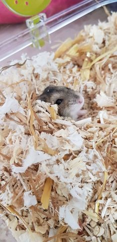 Jean-Michelle, rongeur Hamster
