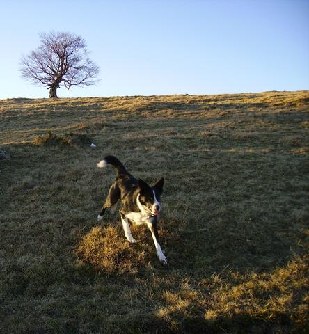 Jena, chien Border Collie