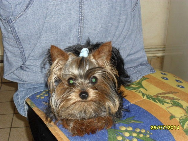 Jenny, chien Yorkshire Terrier
