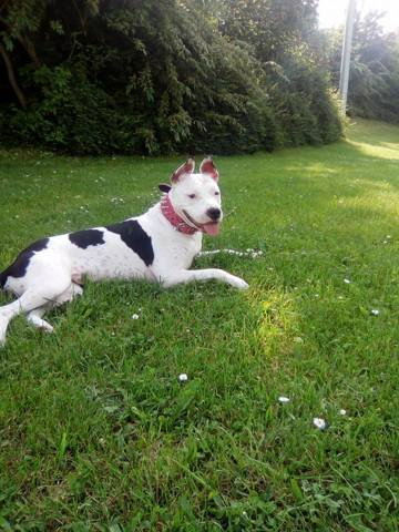 Jersey, chien American Staffordshire Terrier