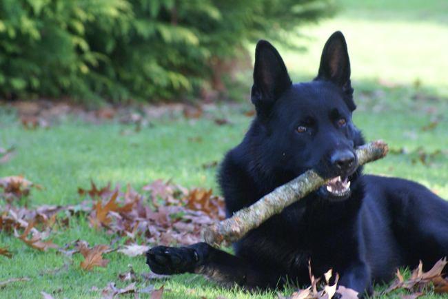Jessie, chien