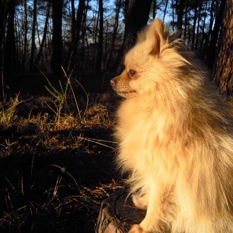 Jessik, chien Spitz allemand