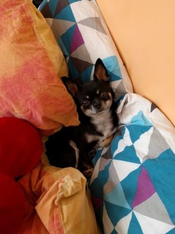 Jethro, chien Chihuahua