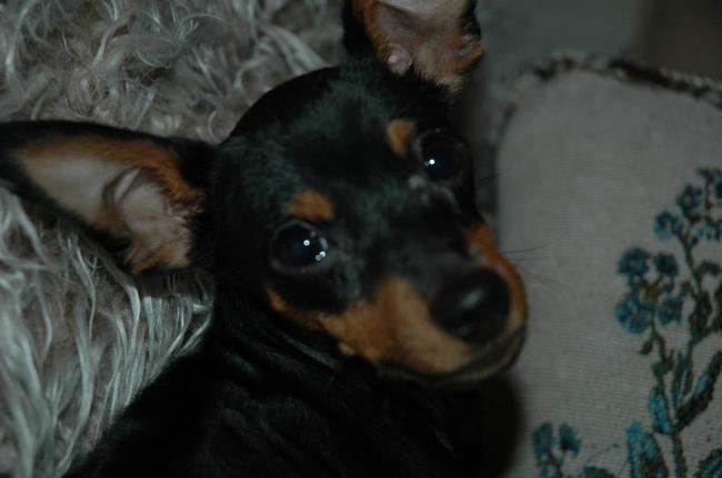 Jethro, chien Pinscher