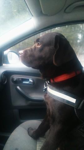 Jim, chien Labrador Retriever
